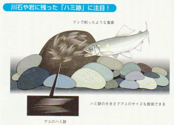 鮎釣り ハミ跡
