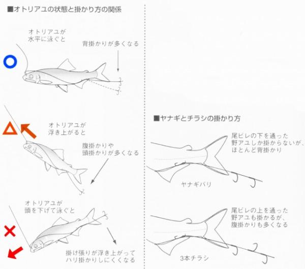 鮎釣り アタリ 掛かり状態