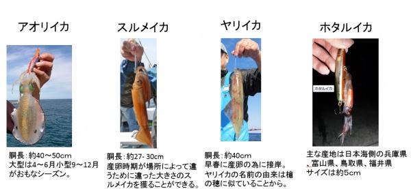 イカの種類&サイズ