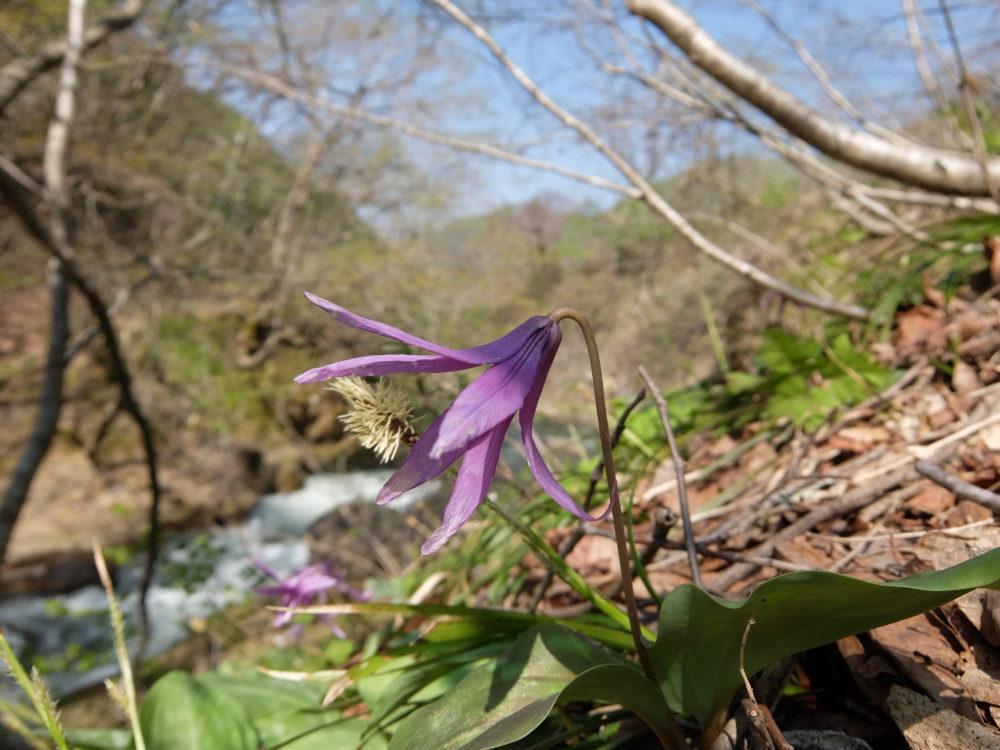 唐府滝 カタクリの花