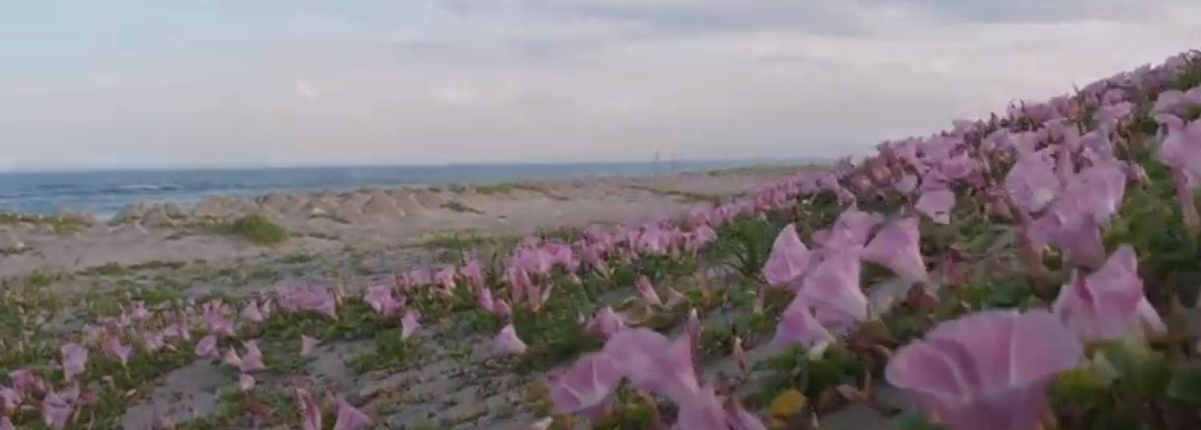 荒浜 ヒルガオ