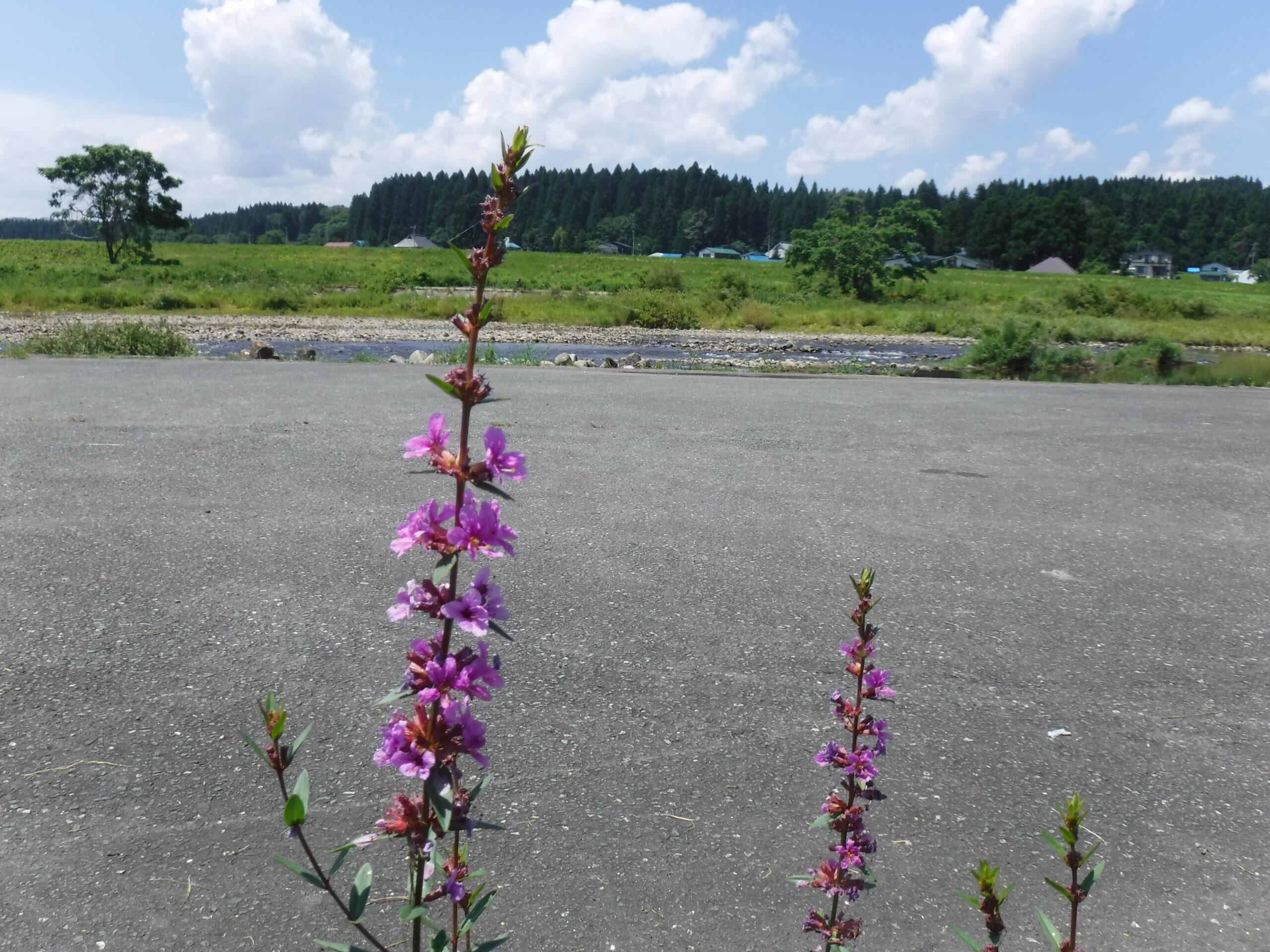 鮎釣り 鮭川、真室川 2021年7月16日(金)
